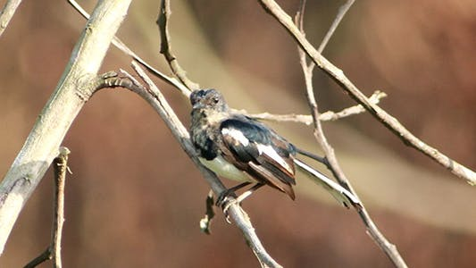 Cover Image for Juvenile Robin Magpie