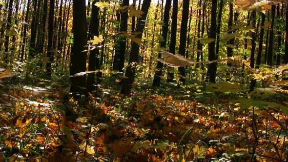 Thumbnail for Autumn Forest Panorama