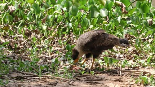Southern Crested Caracara Adult Lone Eating Feeding Scavenging Fish Carcass Carrion Meat
