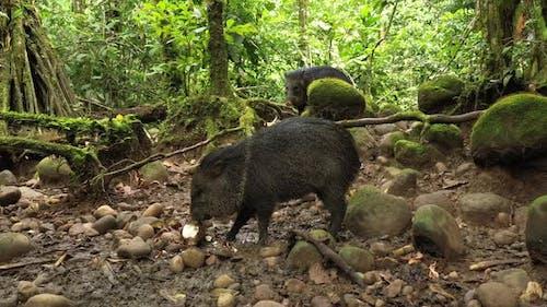 A collard peccary Pecari tajacu eating in a tropical rainforest of South America