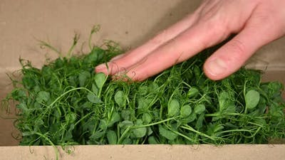 Open box of fresh green peas microgreen