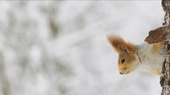 The squirrel crawls on a tree in a winter forest