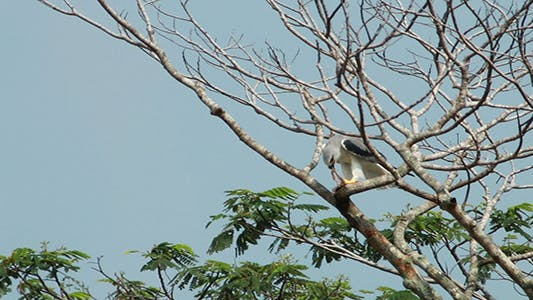 Cover Image for Black Shouldered Kite Eagle Feeding 02