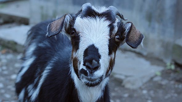 Thumbnail for Staring Goat