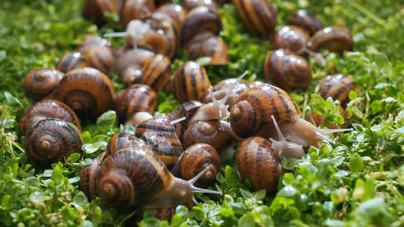Thumbnail for Snails Eat Greens Close Up