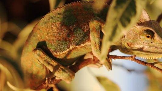Thumbnail for Chameleon On A Branch