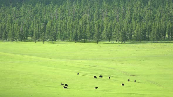 Thumbnail for Yak Herd in Meadow Near the Taiga Forest in Siberia