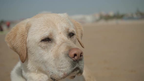 Thumbnail for Closeup Shot of Cute Wet Labrador Looking Around