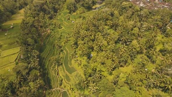 Terrace Rice Fields in Ubud BaliIndonesia