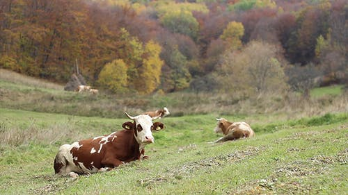 Cow Lying Down in Grass