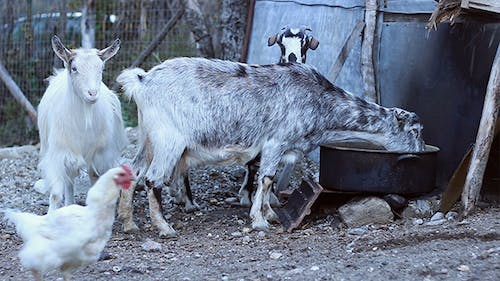 Goats and Fowls in the Yard