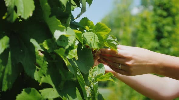 Thumbnail for Farmer's Hands Are Studying a Hop Plant