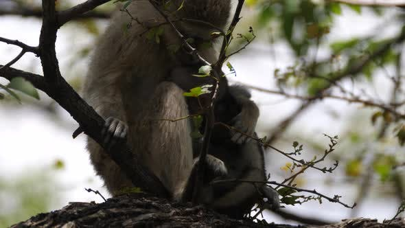 Thumbnail for Baby Vervet Monkey in A Tree with His Mom