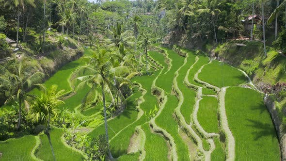 Thumbnail for Low flying drone view of Balinese Rice Terraces