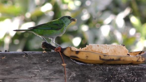 Thumbnail for Green Songbird Bird in Ecuador Jungle Eating Banana Fruit