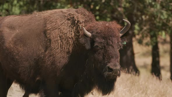 Thumbnail for American Bison close up at wildlife park