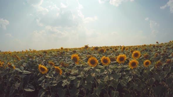 Thumbnail for Sonnenblumenfeld 5