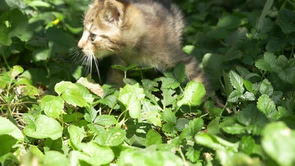Thumbnail for Cute kitten in the grass playing with  adult cat 3840X2160 4K  UHD footage - Little cat in the natur