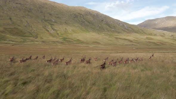 A Herd Of Deer Running Through The Scottish Highlands