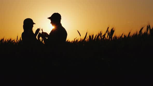 Cover Image for Silhouettes of Two Farmers in a Wheat Field Looking at Ears of Corn
