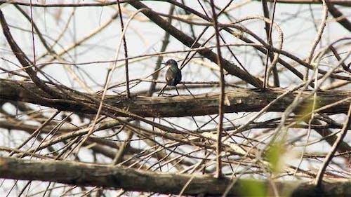 White-throated Hummingbird.
