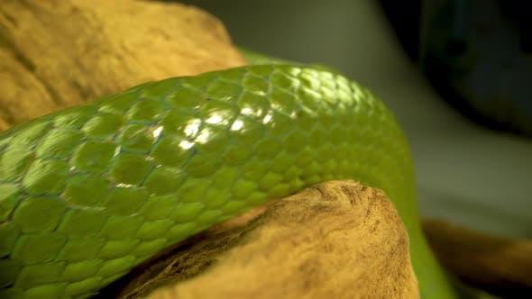 Thumbnail for Rhinoceros Ratsnake or Rhynchophis Boulengeri. Also Known As Rhinoceros Snake or Green Unicorn