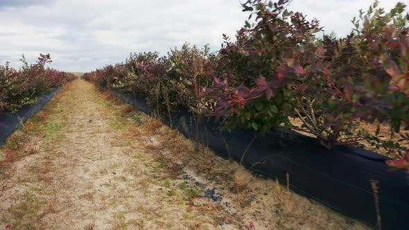 Thumbnail for Passing By Blueberry Farms in Full Autumn Colors. Blueberry Bushes at Fall