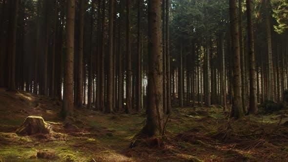 Thumbnail for Sunbeam Forest