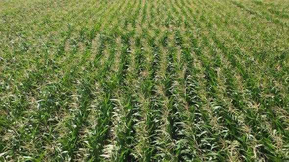 Thumbnail for Aerial View Corn Field Background