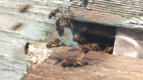 Bees on Beehive Entrance