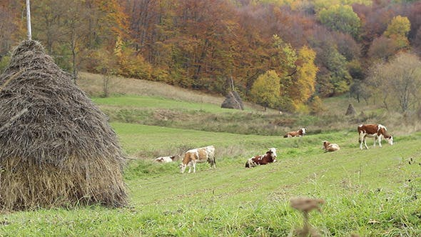 Thumbnail for Cattle Ecological Grazing