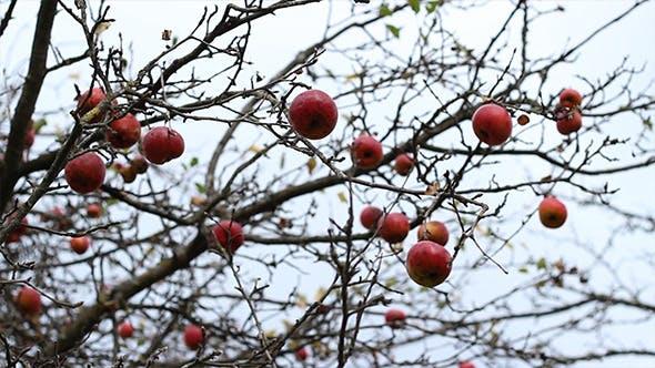 Pommes rouges non cueillies sur les branches
