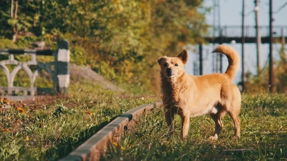 Homeless Red-haired Dog Barks on the Railway Tracks. Unhappy Lonely Battered Dog