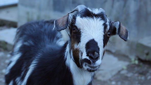 Thumbnail for Goat Close Up