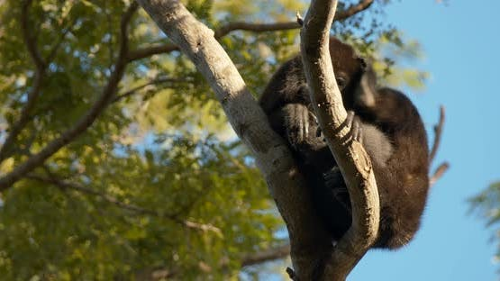 Mantled Howler Monkey Lone Scratching Itching. Rubbing With Feet Head