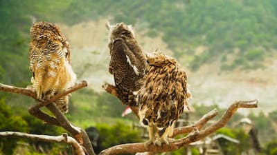 Owls on the Branch