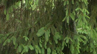 Pinewood Tree 11