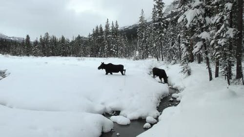 Moose Cow Female Adult Immature Pair Walking Moving in Winter in Yellowstone National Park Wyoming