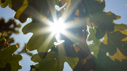 Thumbnail for Sunlight Through Oak Trees