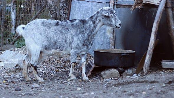 Thumbnail for Domestic She-Goat Eating