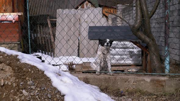 Thumbnail for Guard Dog on a Chain Behind the Fence on the Backyard Barks at People in Winter.