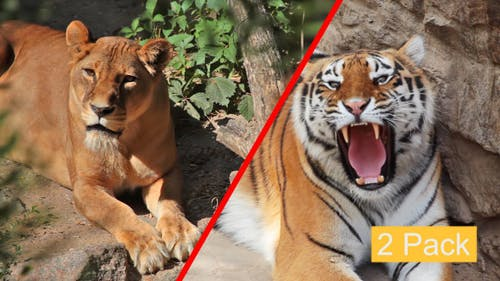 Raubtiere im Zoo (2er-Pack)