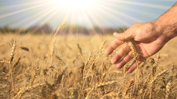 Cover Image for Ripe Wheat, Hand And The Sun