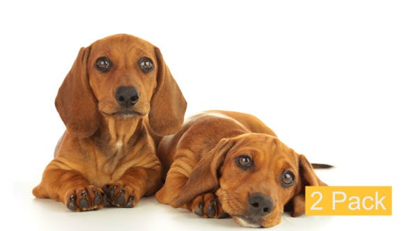 Thumbnail for Two Dachshund Puppies