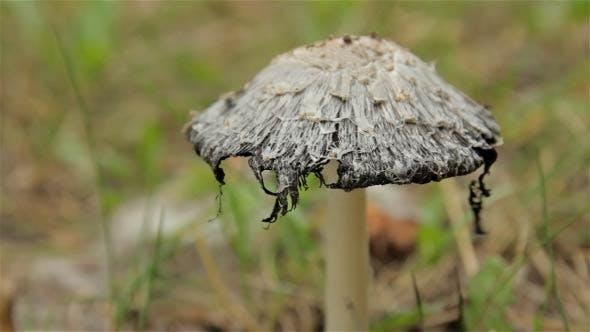 No Name Mushroom (2-Pack)