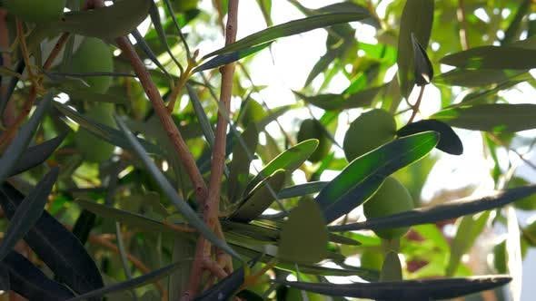 Thumbnail for Green Olive Twig in Mediterranean Garden
