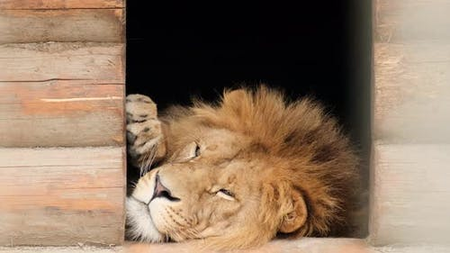 A beautiful big lion is lying and resting.