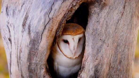 Thumbnail for Close-up of a Barn Owl