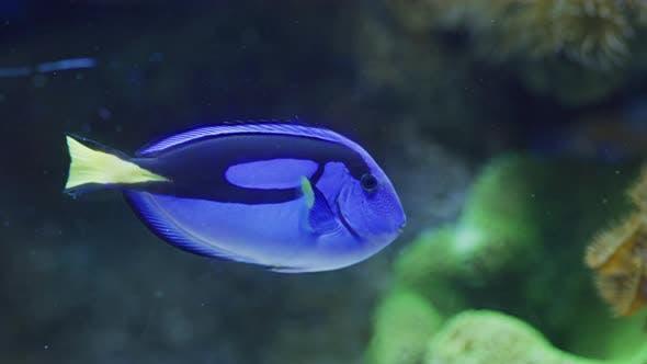 Thumbnail for Blue Tang Schwimmen im Wasser