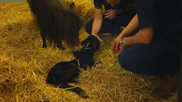 Infirmière caresser nouveau-né poulain à l'hôpital. 4k